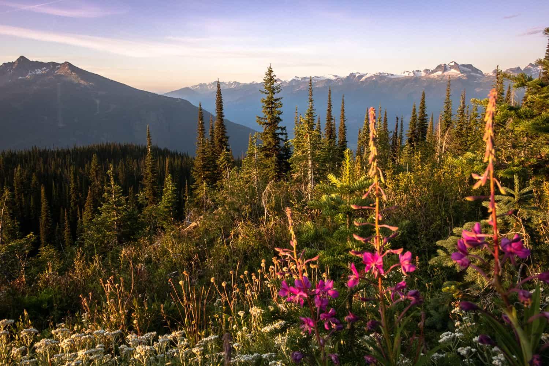 Wildflowers in Mount Revelstoke National Park