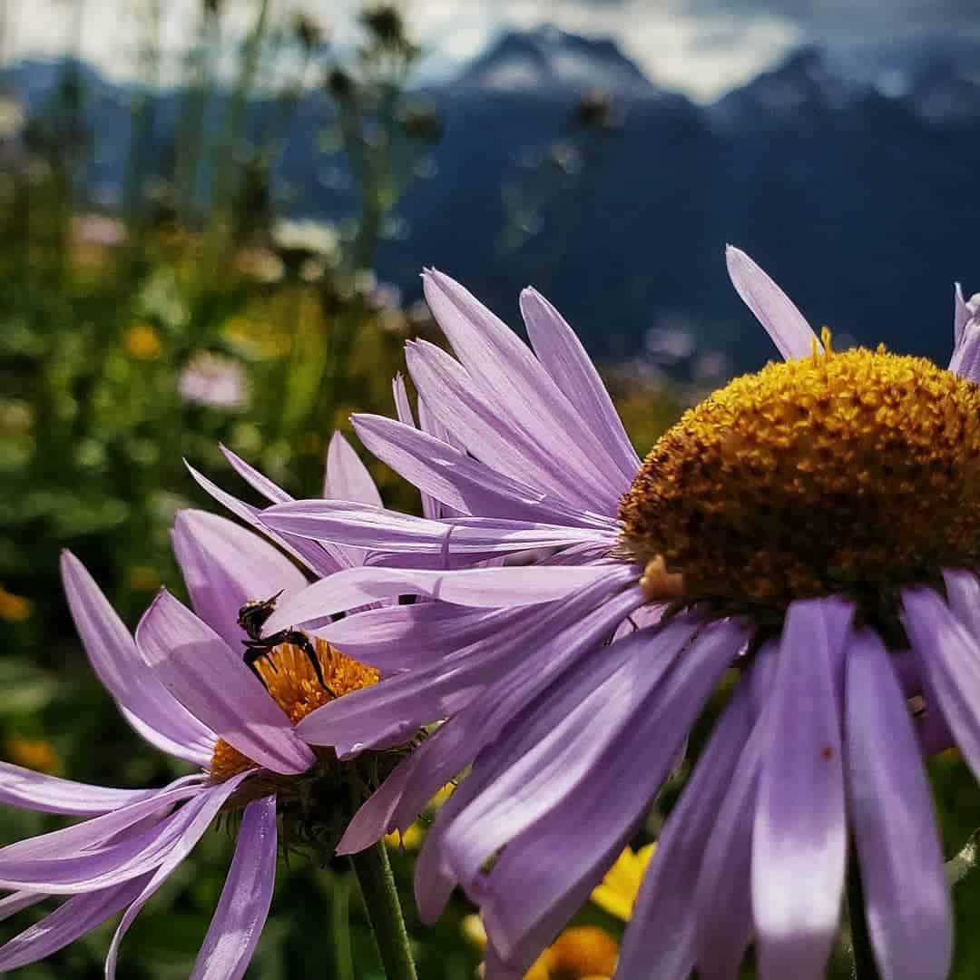 revelstoke-mountain-resort-hiking-flowers