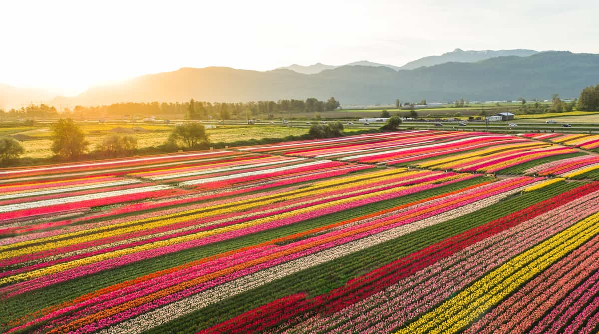 The Fraser Valley during Tulip Festival. Photo Credit: DBC